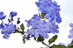 Blue plumbago Royalty Free Stock Photos