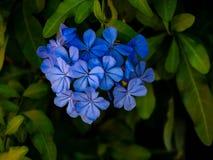 Blue Plumbago flower stock photography