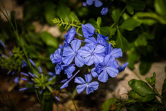 Blue Plumbago Flower. Blue Plumbago blooming, many small flower petals Royalty Free Stock Photography