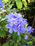 Blue plumbago flowers Royalty Free Stock Image