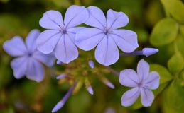 Blue plumbago flowers. And green leaves Stock Photography