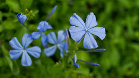 Blue  Plumbago Flowers Stock Image