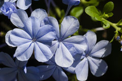 Blue plumbago flowers under the sun Royalty Free Stock Images
