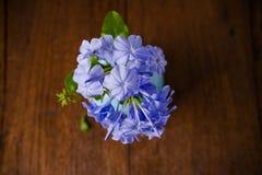 Blue plumbago flowers in vase Stock Image