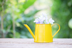 Blue Plumbago in Yellow mini watering can Stock Image