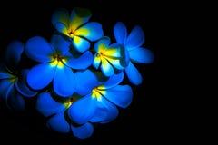 Blue Plumeria flower. Plumeria flower on blue and black background Stock Image