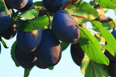 Blue plums. Vitamins diet food royalty free stock photo