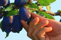 Blue plums. Vitamins diet food stock photo