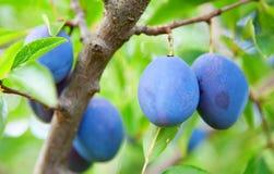 Blue plums Stock Photos