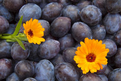 Blue Plums Stock Photography