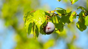 Blue plums on the branch of fruit tree, ripe plum illuminated by the sun. stock video