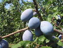 Blue plums on the branch Royalty Free Stock Photo