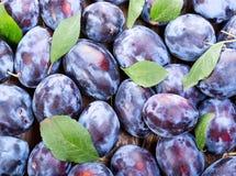 Blue plums Royalty Free Stock Photos