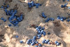 Blue plums on sand. Appetizing ripe sweet blue plums on white grain sand autumn havest on the ground stock image