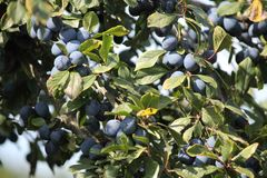 Blue plums on a tree. Appetizing ripe sweet blue little plums on a tree autumn havest royalty free stock images
