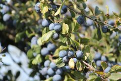 Blue plums on a tree. Appetizing ripe sweet blue little plums on a tree autumn havest stock photo