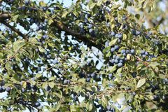 Blue plums on a tree. Appetizing ripe sweet blue little plums on a tree autumn havest royalty free stock photo