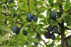 Blue plums tree Royalty Free Stock Photography