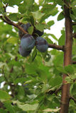 Blue plums tree Royalty Free Stock Images