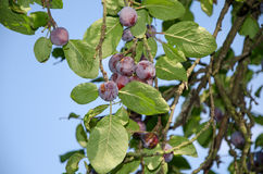 Blue plums on tree Royalty Free Stock Photos