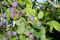 Blue plums on tree Stock Images