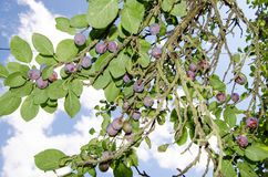 Blue plums on tree Royalty Free Stock Photography