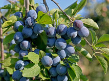 Blue plums Royalty Free Stock Photo