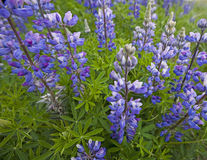 Blue pod Lupine Royalty Free Stock Images