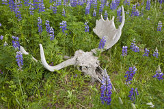 Blue pod Lupine and moose skull with paddles Royalty Free Stock Image