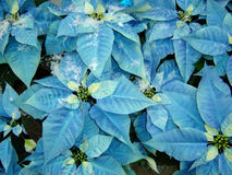 Blue poinsettia Stock Photo
