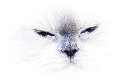 A blue point himalayan cat Royalty Free Stock Photo