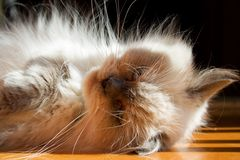 Blue point himalayan cat Stock Image