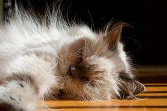 Blue point himalayan cat Stock Photography
