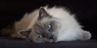Blue point ragdoll on black stock images