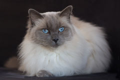 Blue point ragdoll with black background. Blue point ragdoll on a black background Royalty Free Stock Image