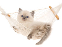 Blue point Ragdoll kitten in hammock Stock Photography
