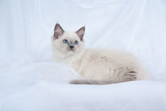 Blue point Ragdoll kitten on white background. Ragdoll kitten full body lying down on folds of white soft fabric background showing off blue eyes Stock Photo