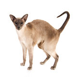 Blue point Siamese Stock Image