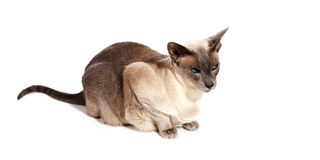 Blue point Siamese cat Royalty Free Stock Photos
