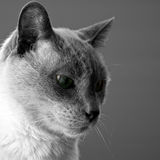 Blue Point Siamese Cat. Male Blue Point Siamese Cat Royalty Free Stock Photo