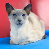 Blue point siamese cat Royalty Free Stock Images