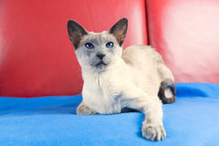 Blue point siamese cat Royalty Free Stock Image
