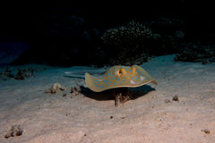 Blue point sting ray royalty free stock image