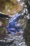 Blue poison arrow frog stock photos
