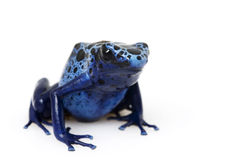 Blue Poison Arrow Frog (Dendrobates azureus). On white background stock photo
