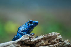 Blue poison arrow frog Stock Images