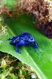 Blue Poison Dart Frog Royalty Free Stock Image