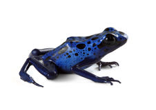 Free Blue Poison Dart Frog Royalty Free Stock Image - 20407486