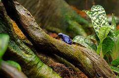 Blue Poison Dart Frog Royalty Free Stock Photography