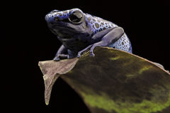 Free Blue Poison Dart Frog Stock Photography - 57325252